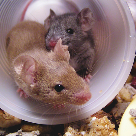 Deux souris dans un verre de plastique