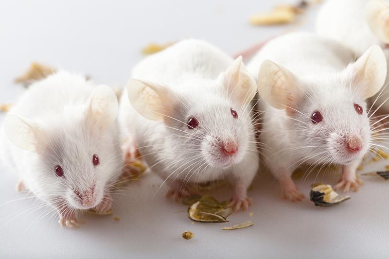 Trois souris qui manquent des noix